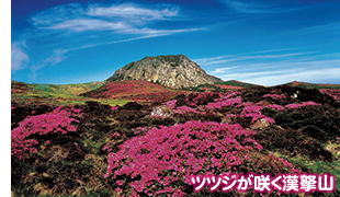 ツツジが咲く漢拏山
